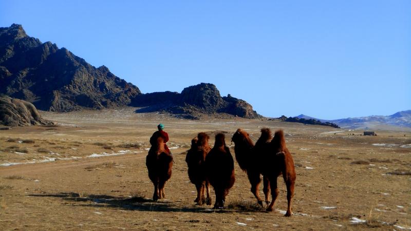 mongoliacamels2